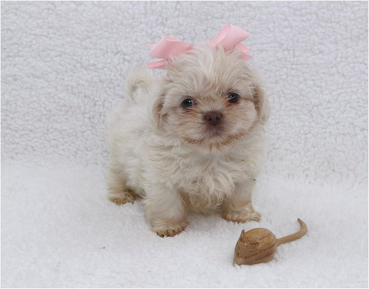 shih tzu for sale new zealand