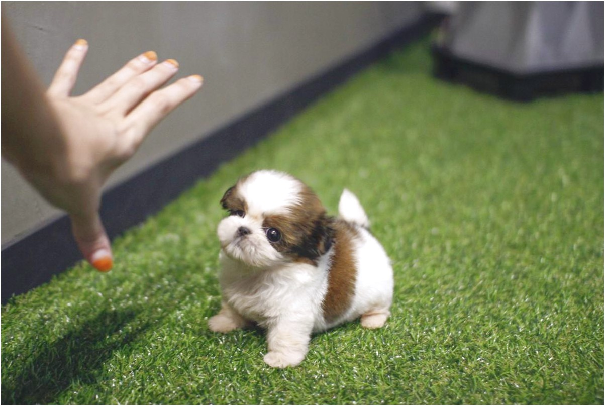 shih tzu for sale north east