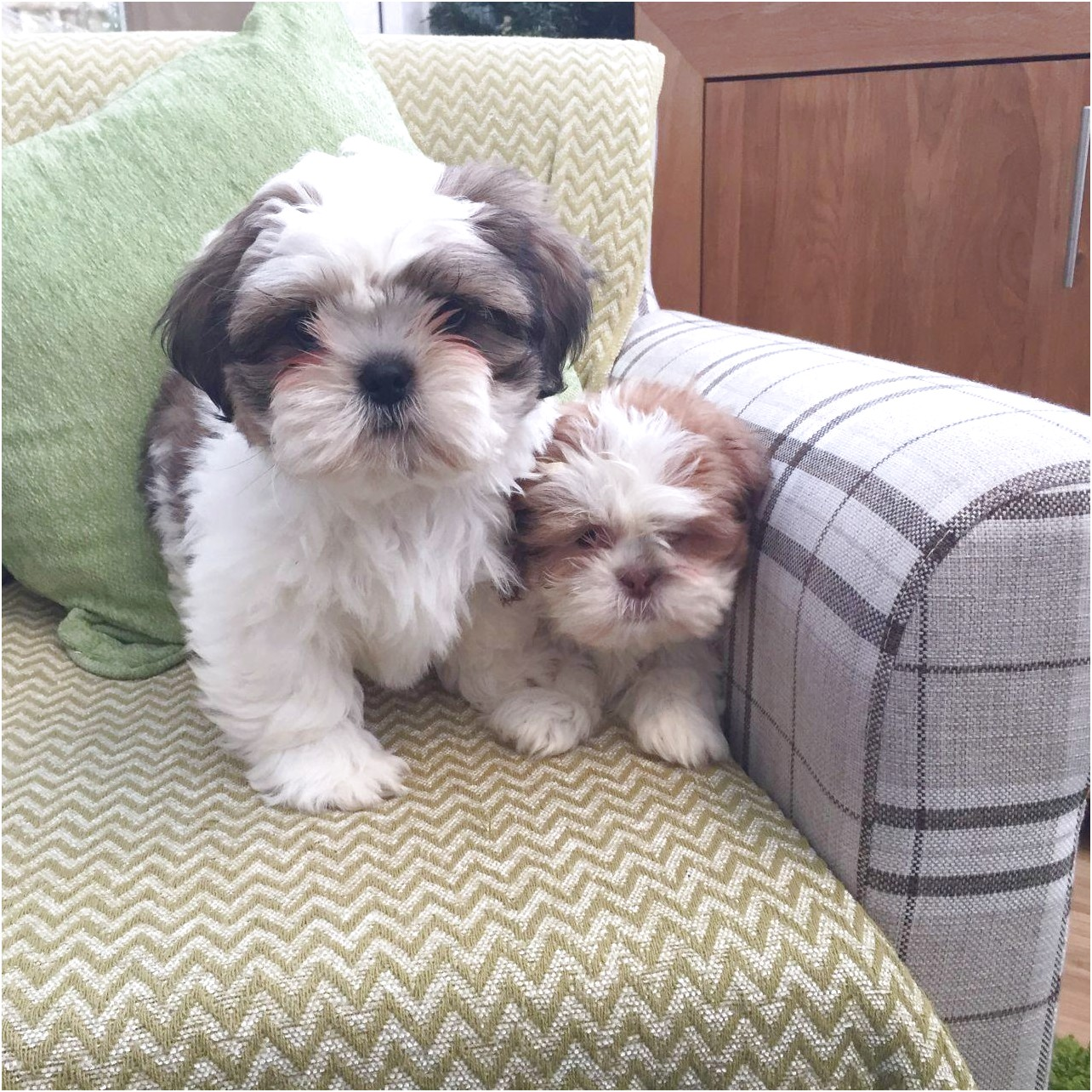 shih tzu for sale north west