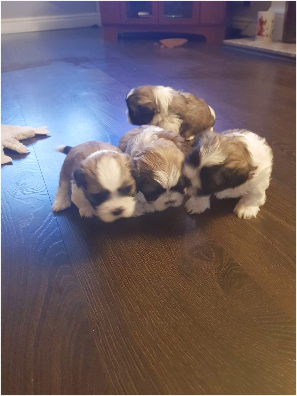 shih tzu for sale nottingham