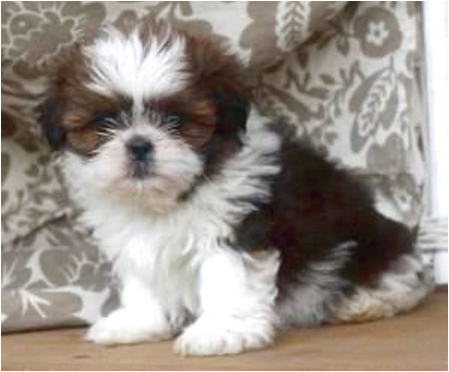 shih tzu for sale pa