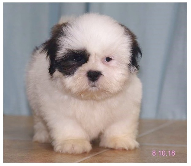 shih tzu for sale pensacola fl