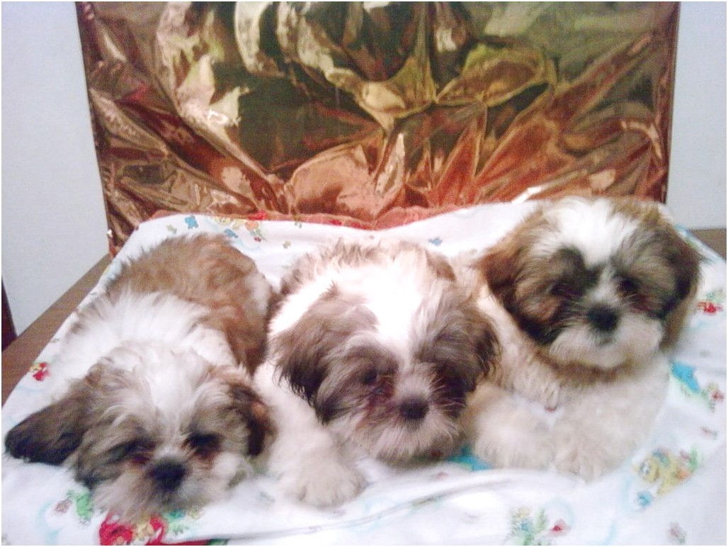 shih tzu for sale ri