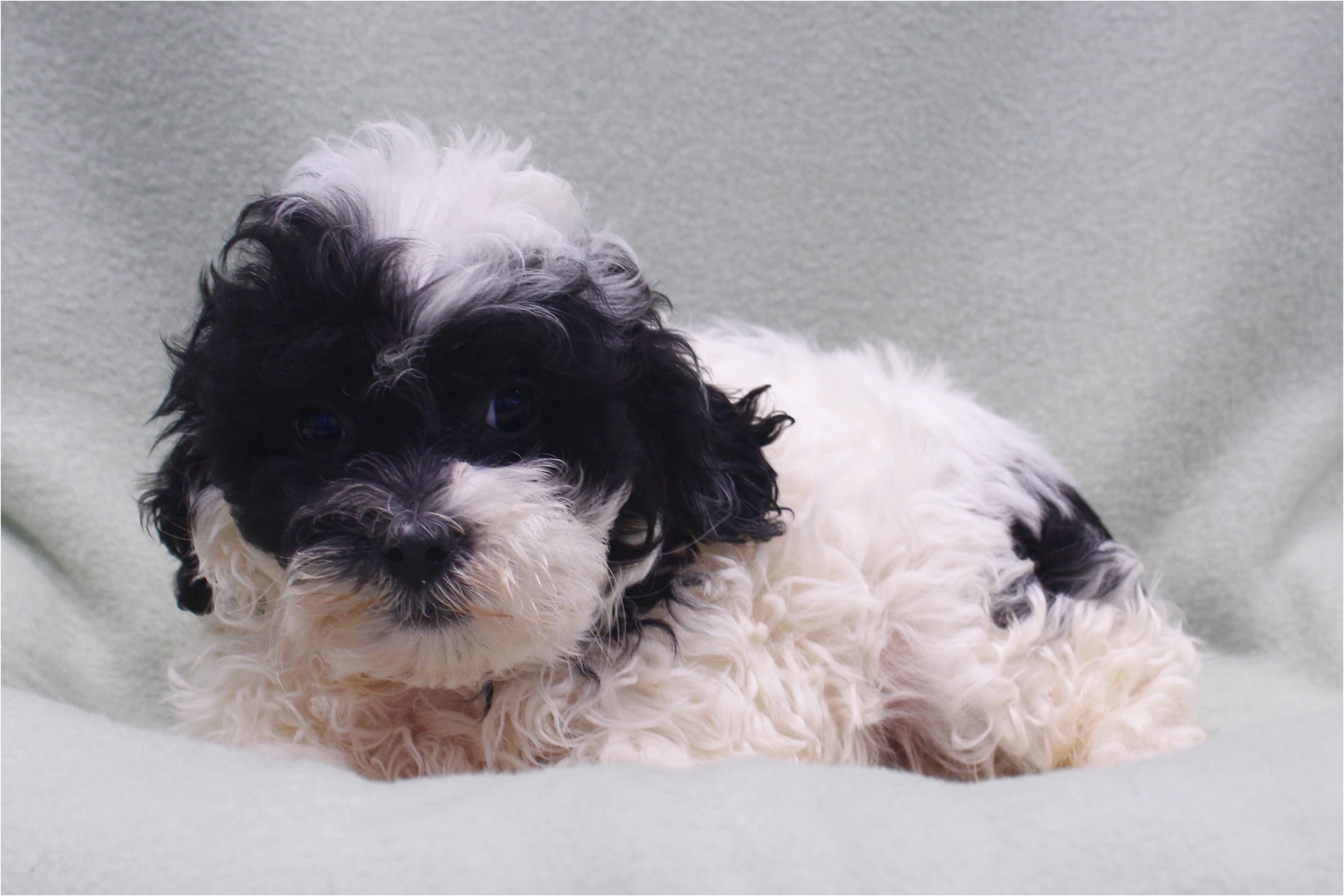 shih tzu for sale rochester mn