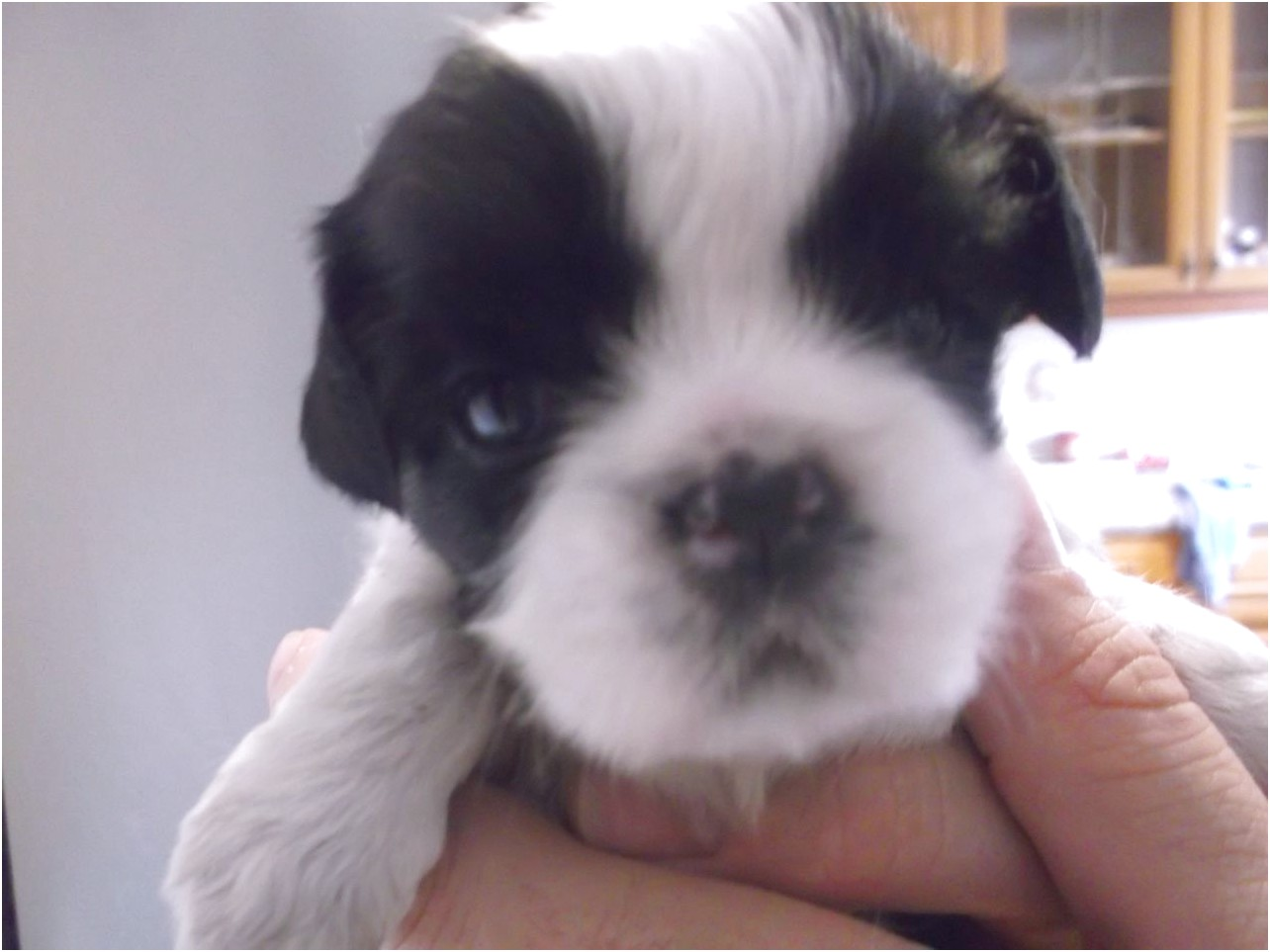 shih tzu for sale south yorkshire