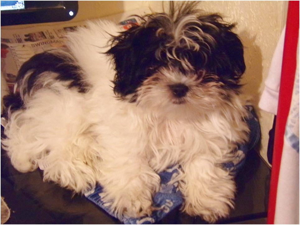 shih tzu for sale under 100
