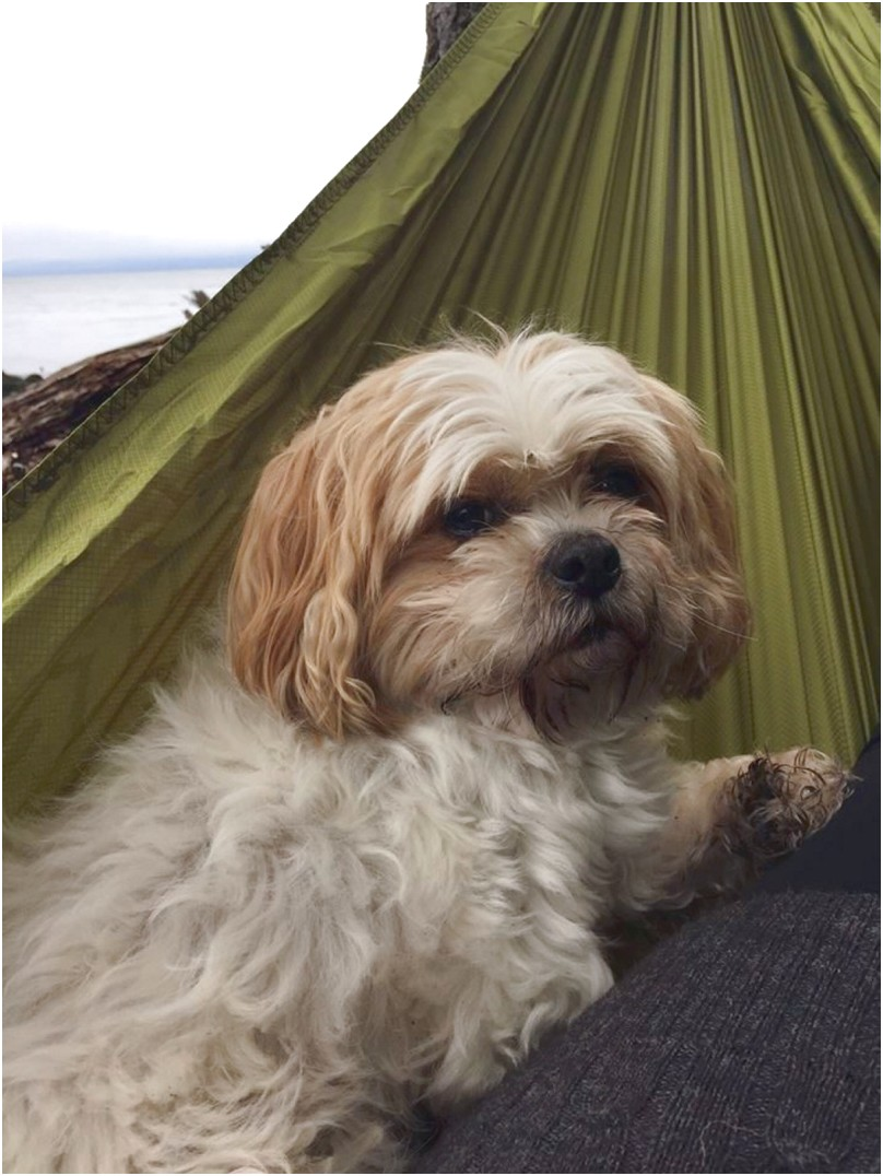 shih tzu for sale vancouver island