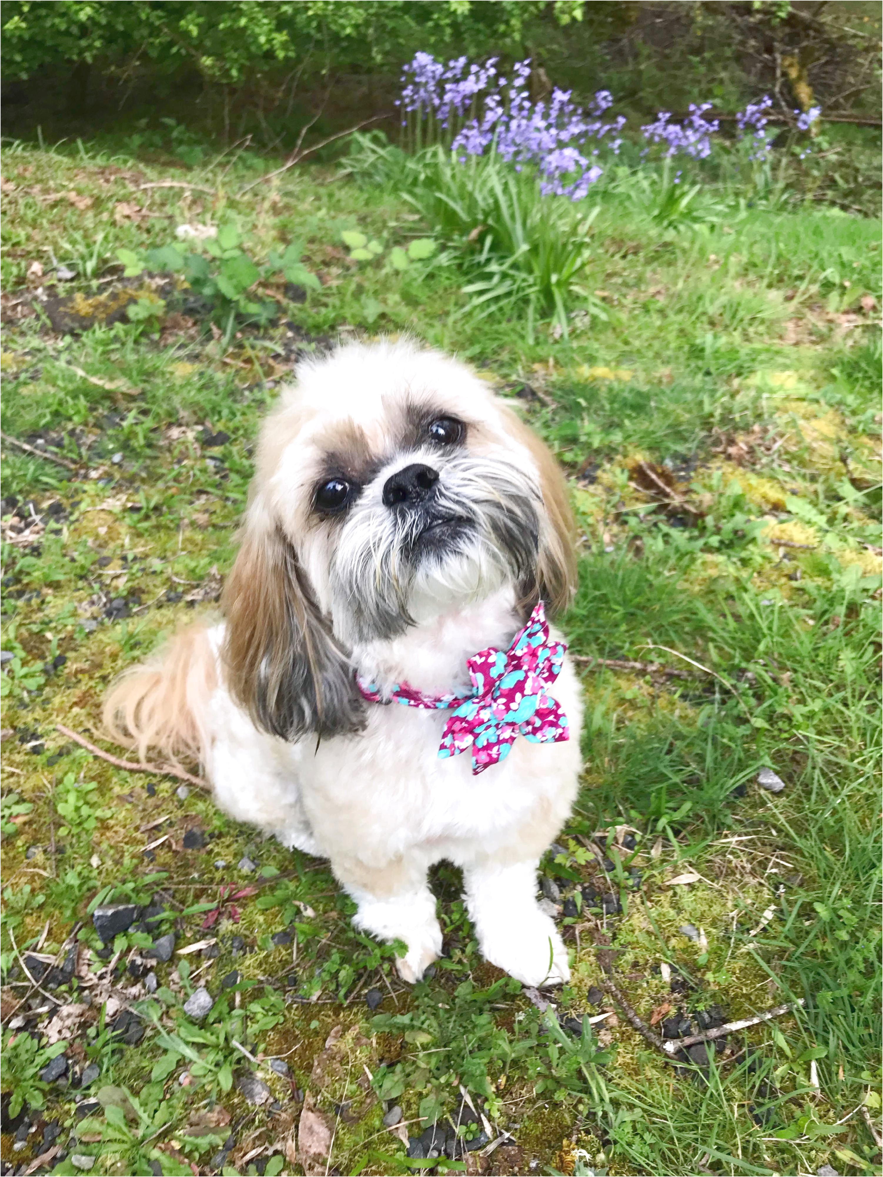 shih tzu for sale vancouver