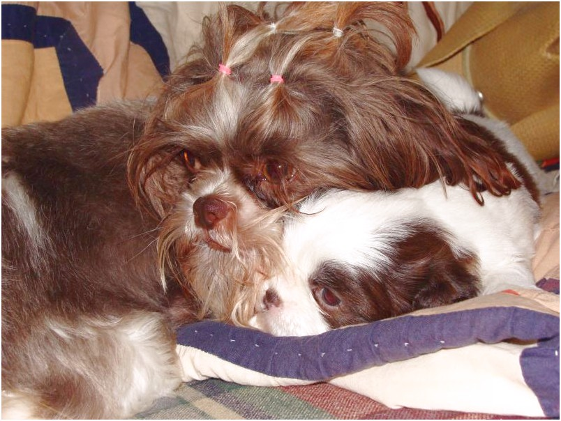 shih tzu for sale vermont