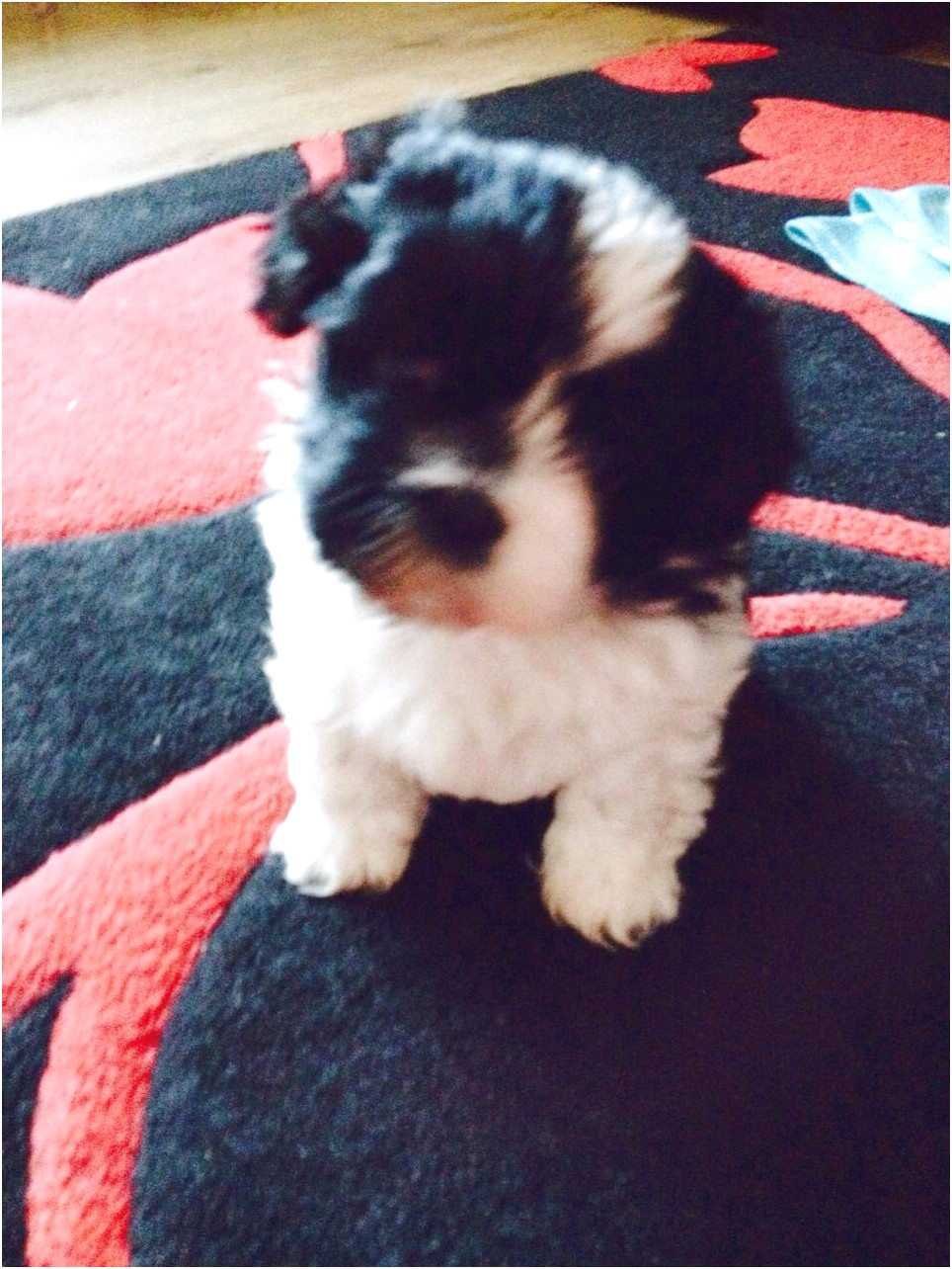 shih tzu for sale warrington