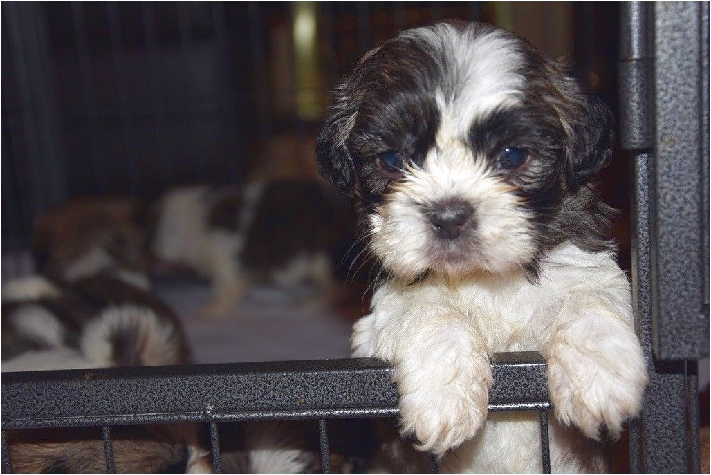 shih tzu for sale west midlands