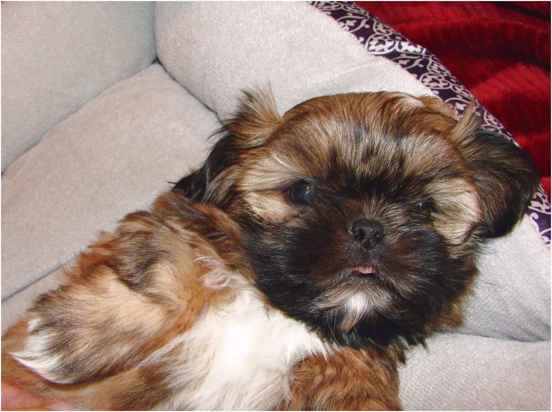 shih tzu for sale yuma az