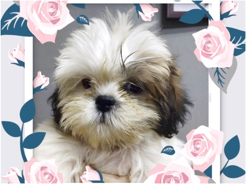 shih tzu for sales in singapore
