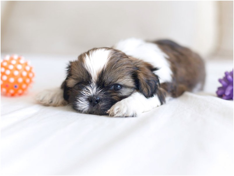 shih tzu puppies for adoption bc