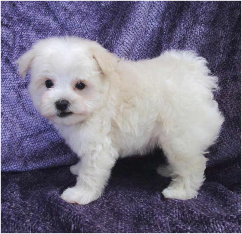 shih tzu puppies for adoption in raleigh nc