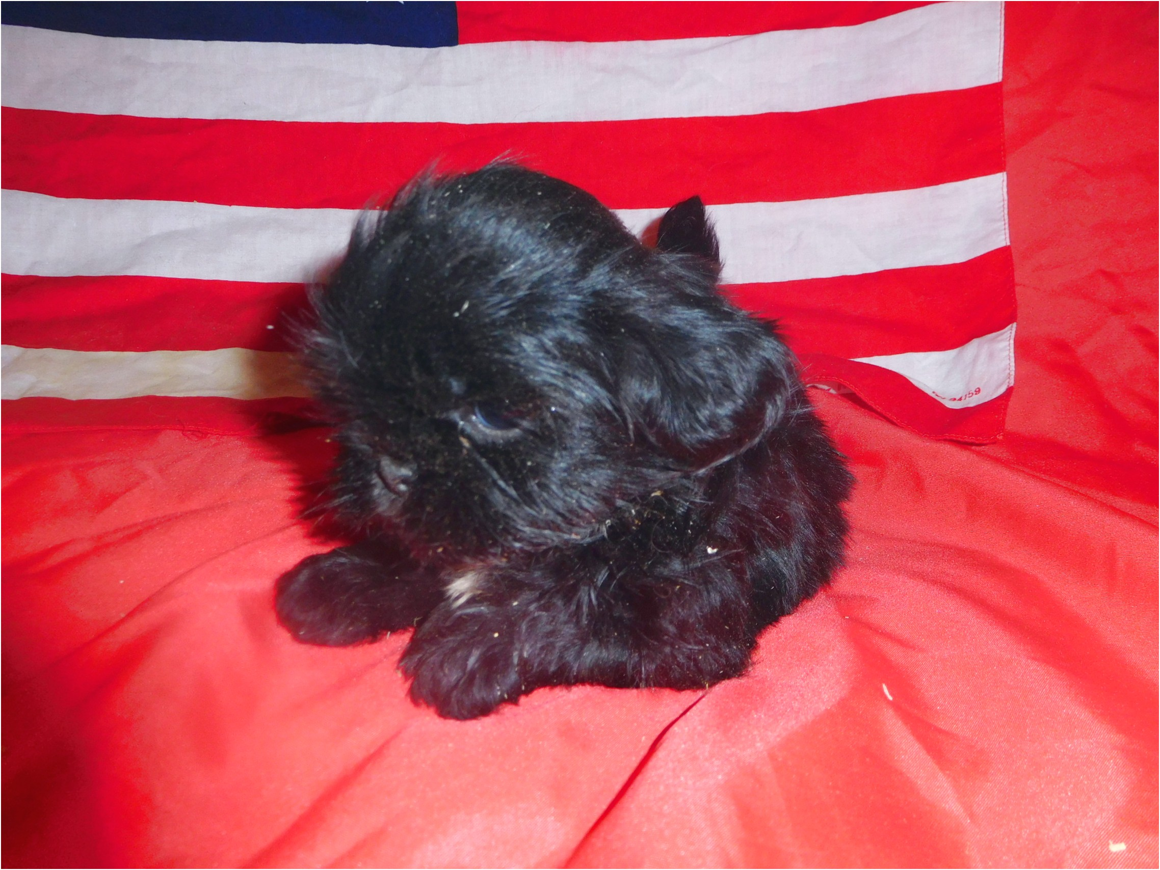 shih tzu puppies for sale 100