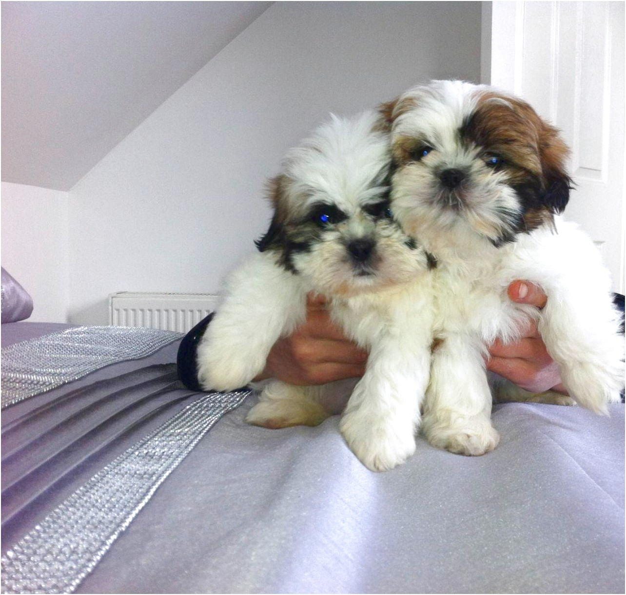 shih tzu puppies for sale 2017