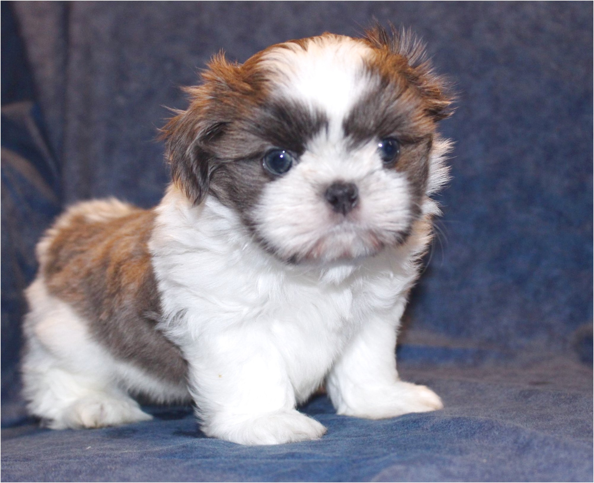 shih tzu puppies for sale 250