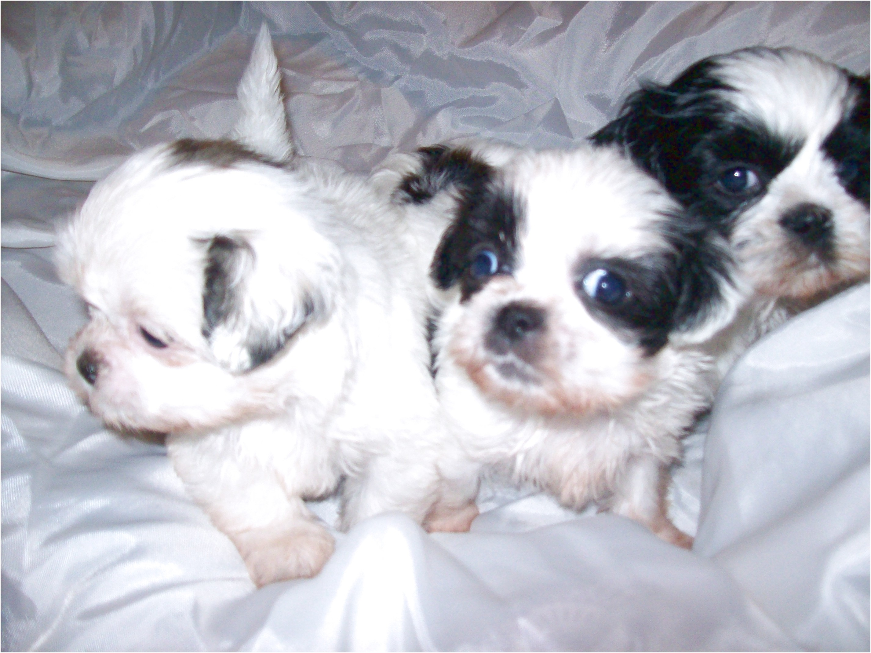 shih tzu puppies for sale 300