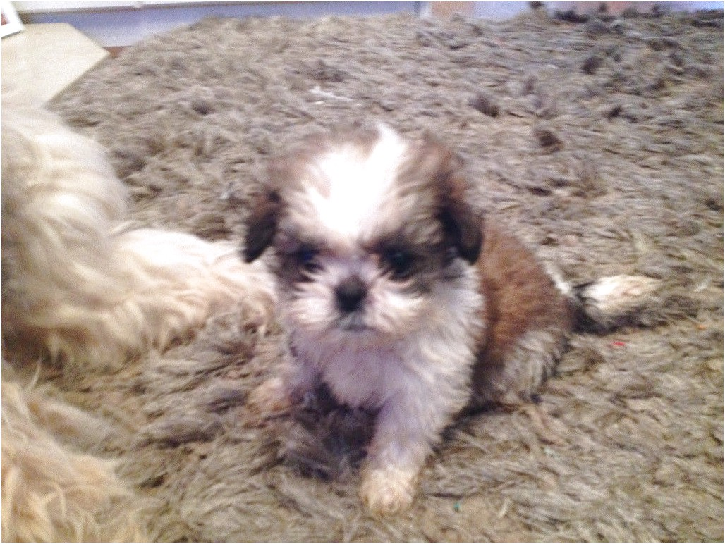 shih tzu puppies for sale 350