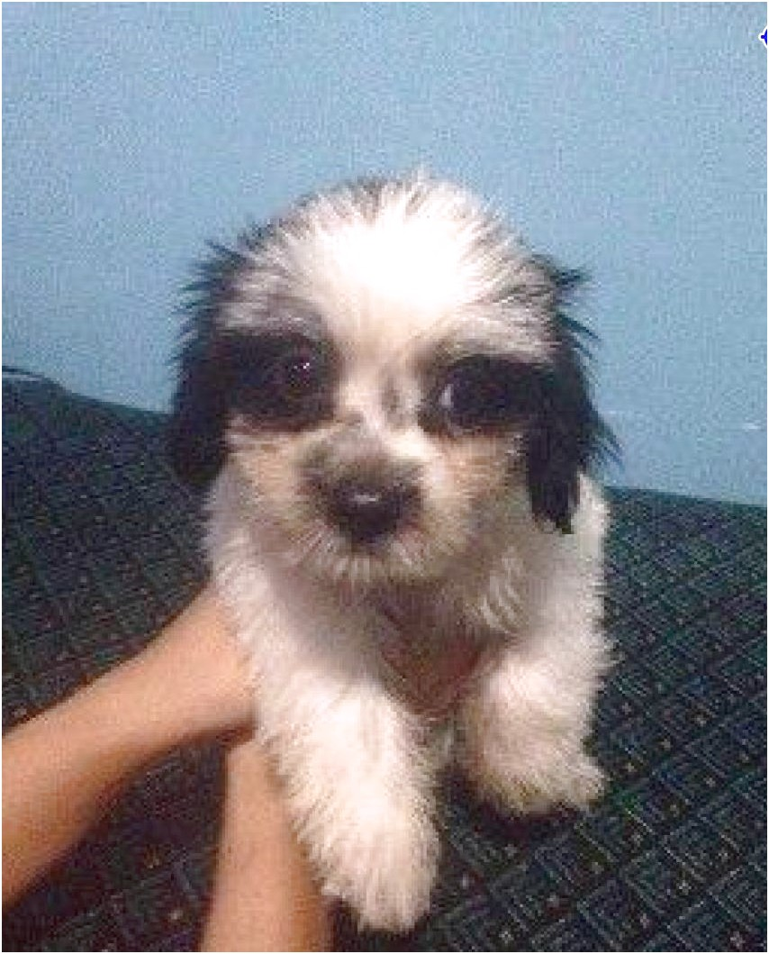 shih tzu puppies for sale 3k