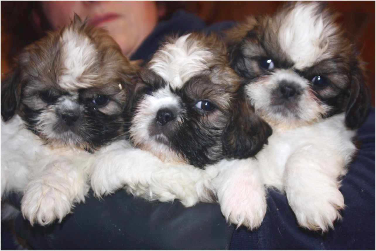 Shih Tzu Puppies For Sale Duluth Mn