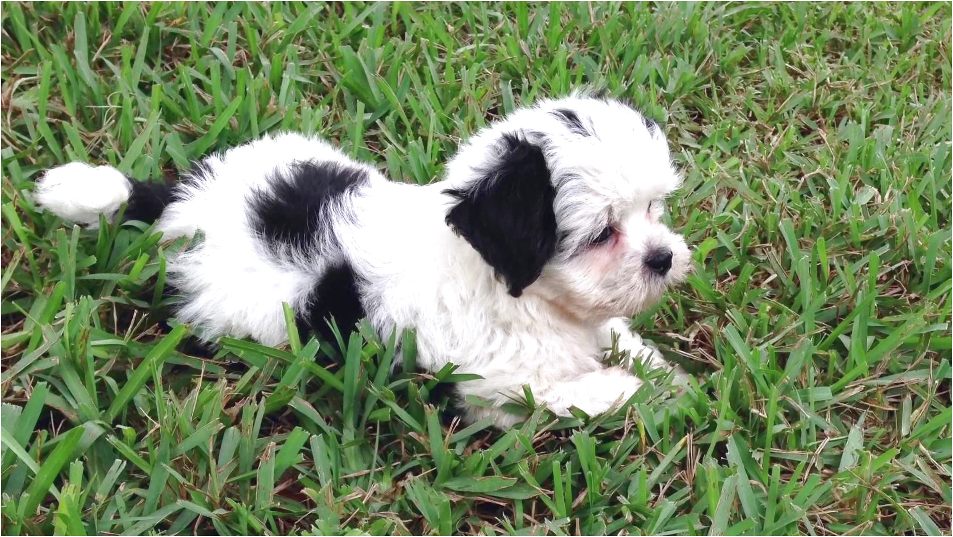 shih tzu puppies for sale east midlands
