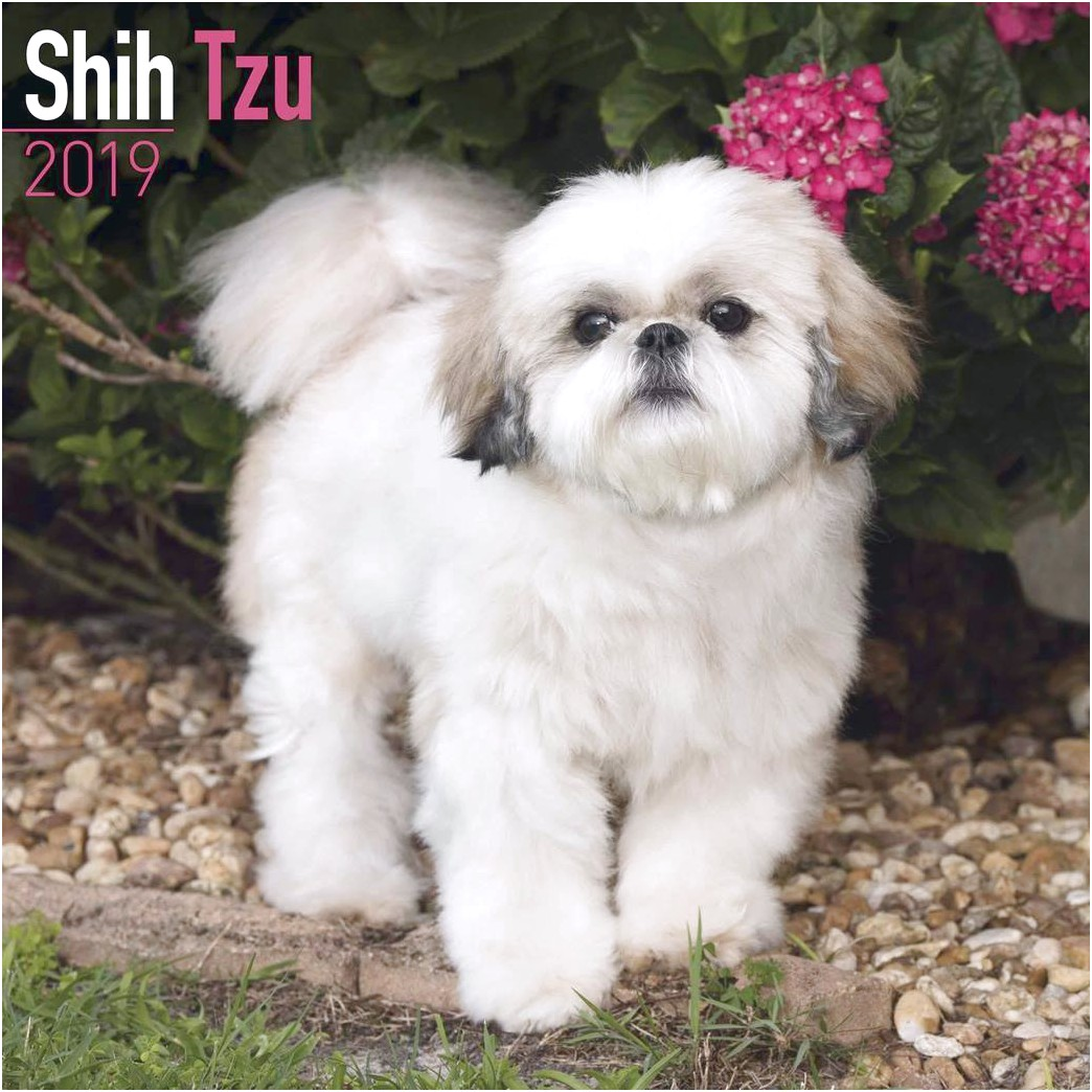 shih tzu puppies for sale exeter