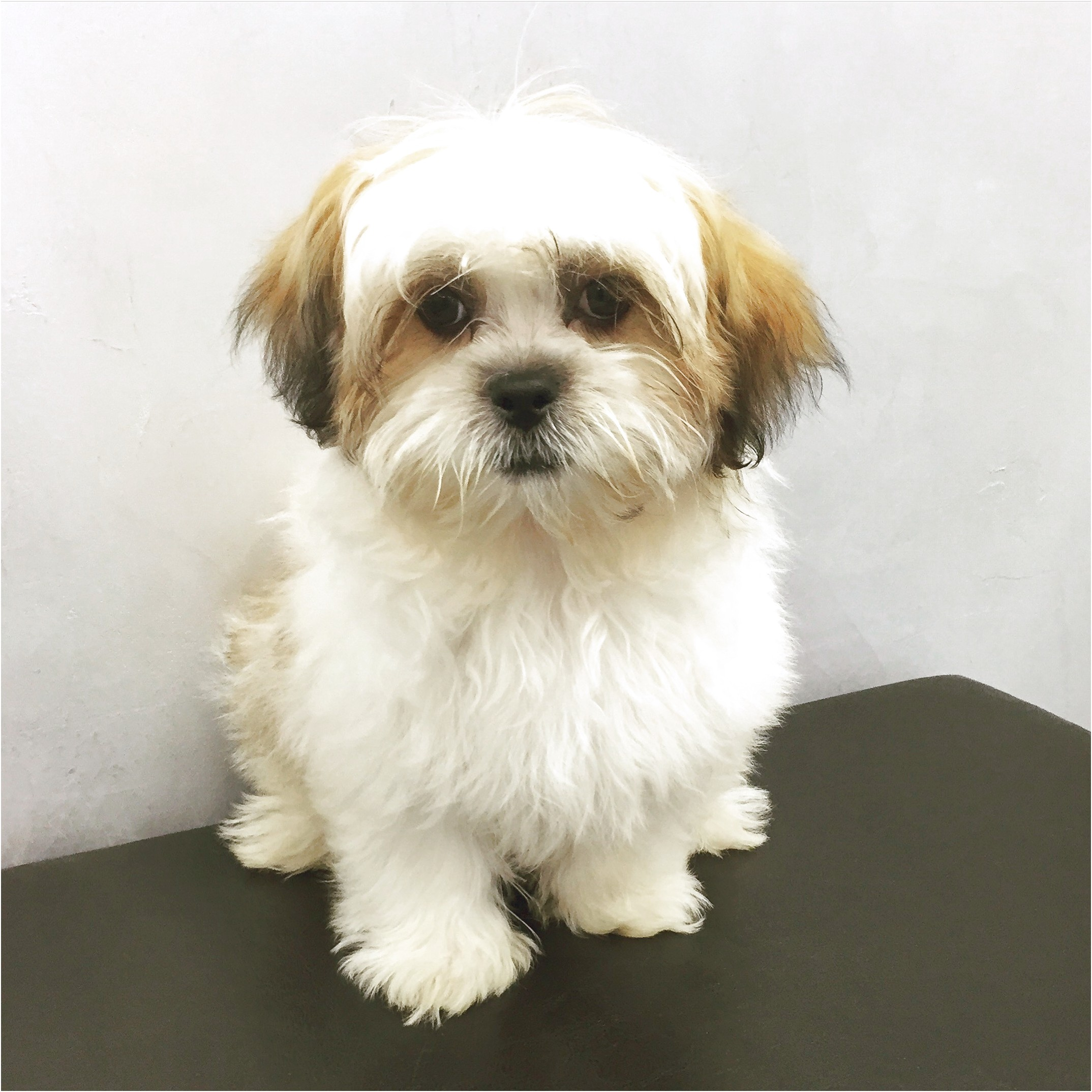 shih tzu puppies for sale florence sc