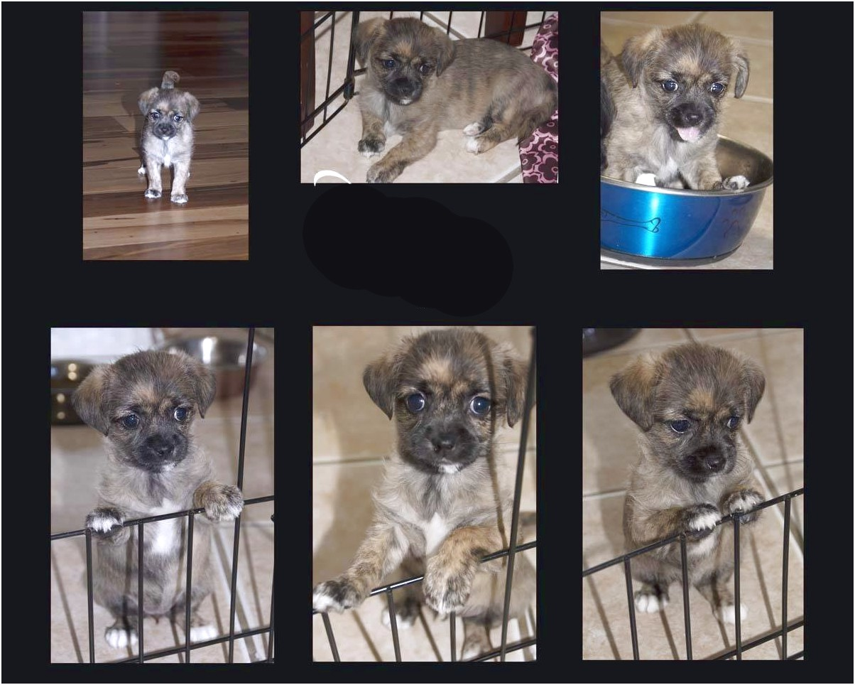 shih tzu puppies for sale fort worth tx
