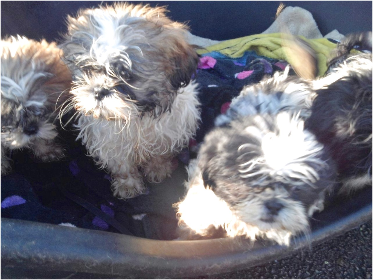 shih tzu puppies for sale gloucestershire