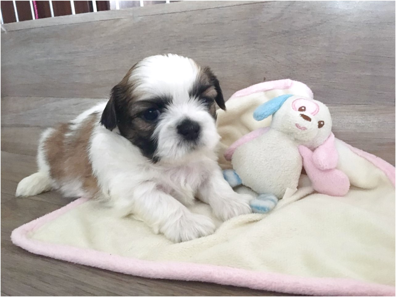 shih tzu puppies for sale hartlepool