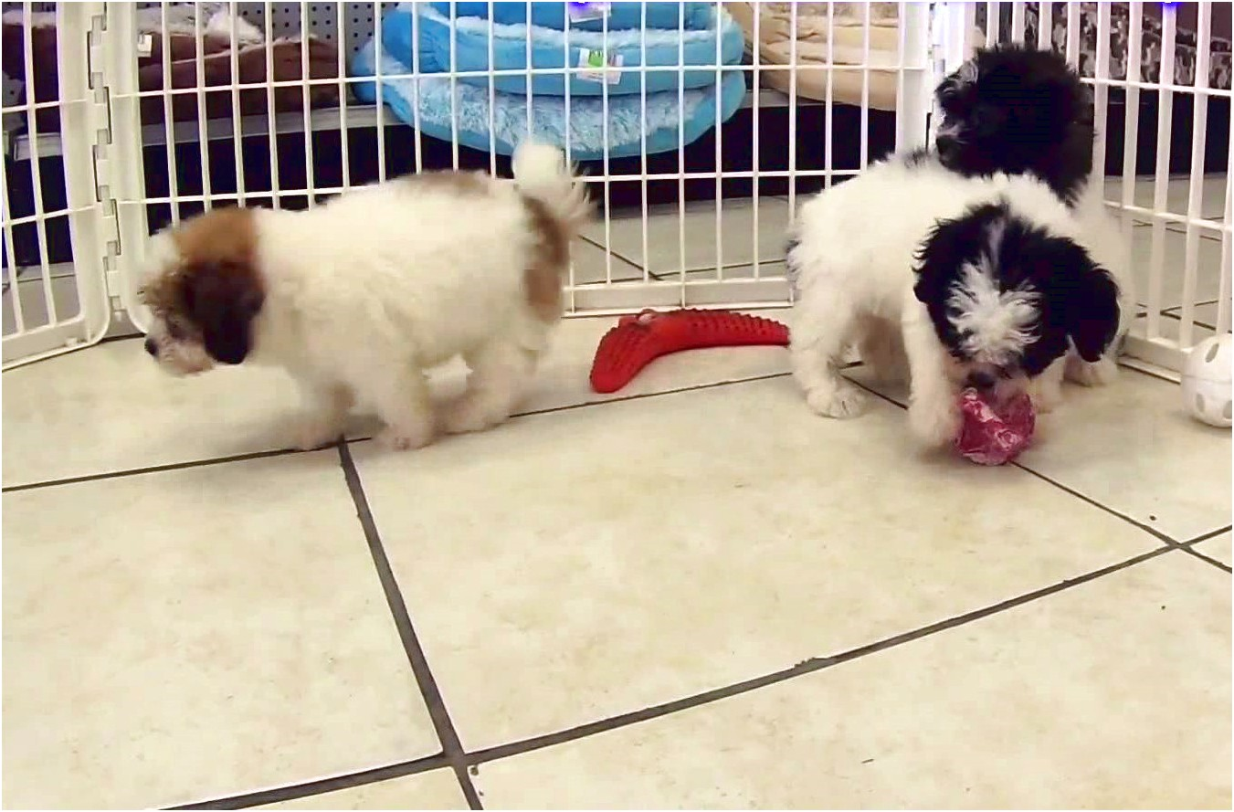 shih tzu puppies for sale hawaii