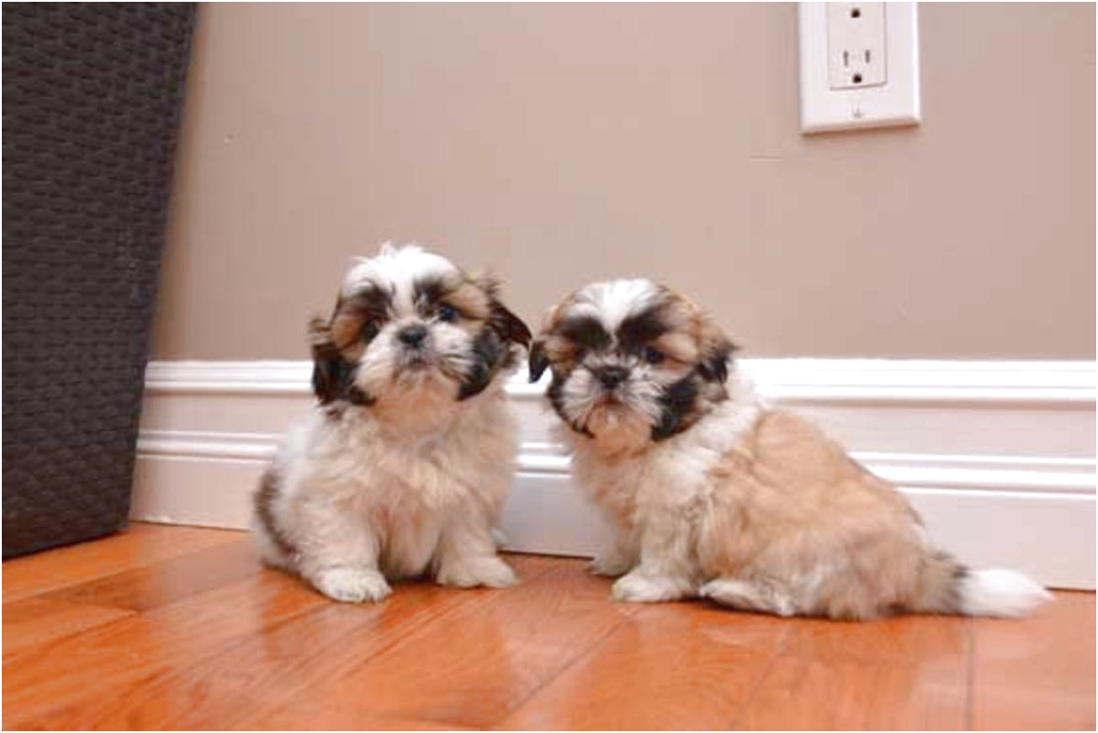 shih tzu puppies for sale hoobly