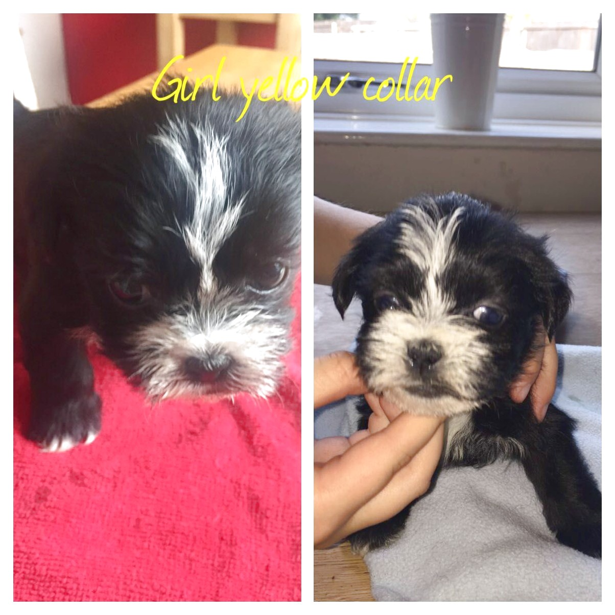 shih tzu puppies for sale hull
