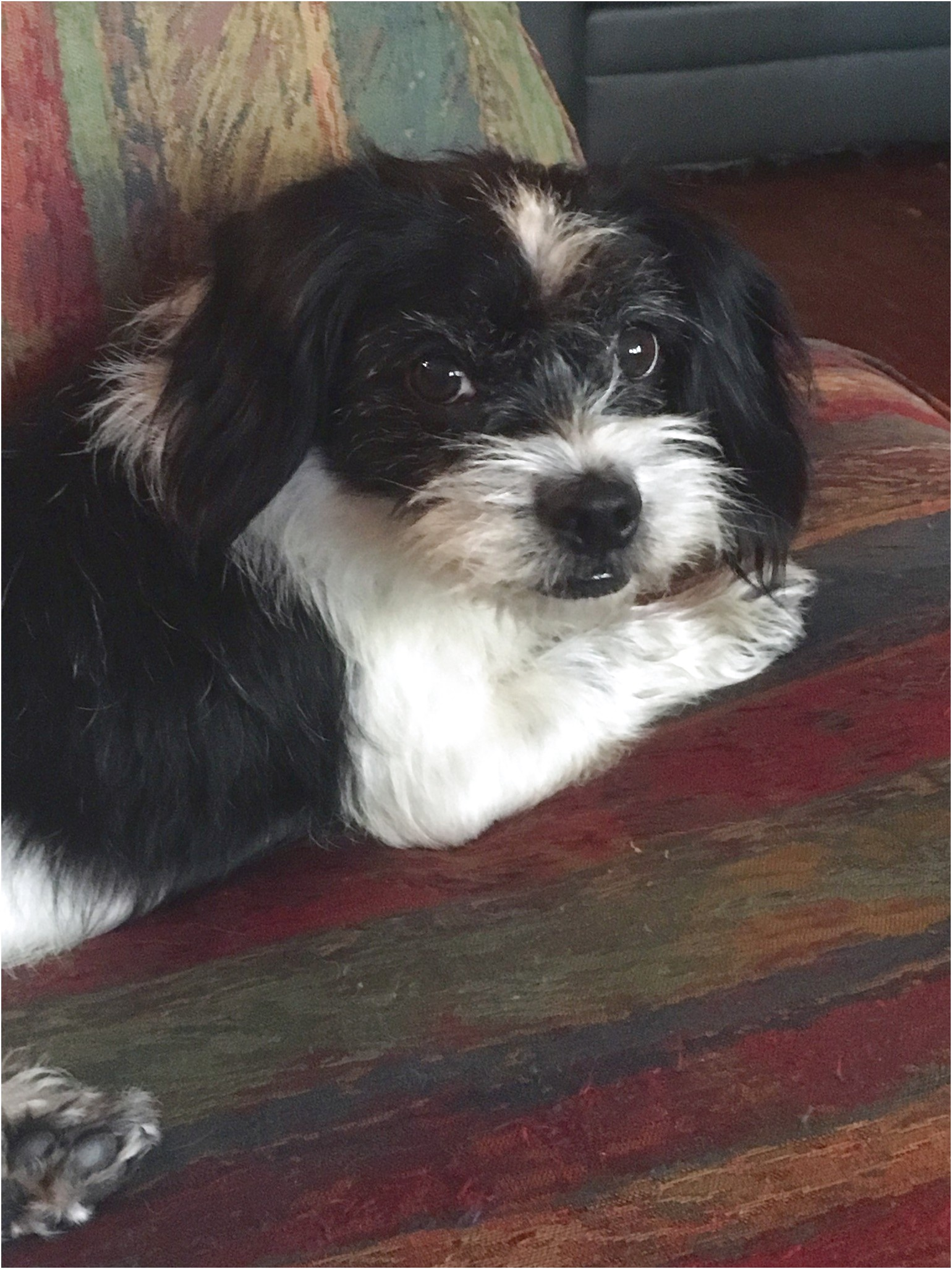 shih tzu puppies for sale in ga under 300