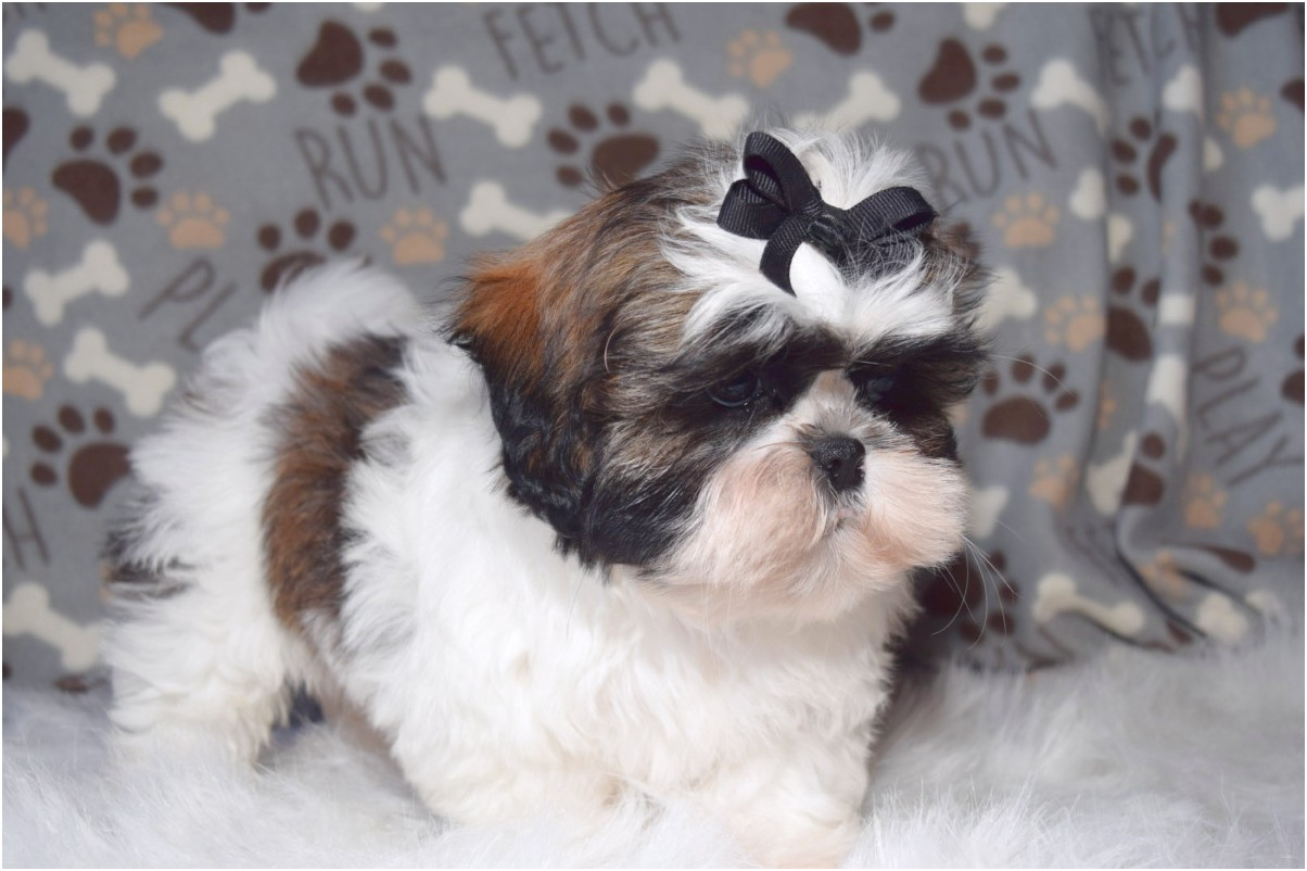 shih tzu puppies for sale in northeast