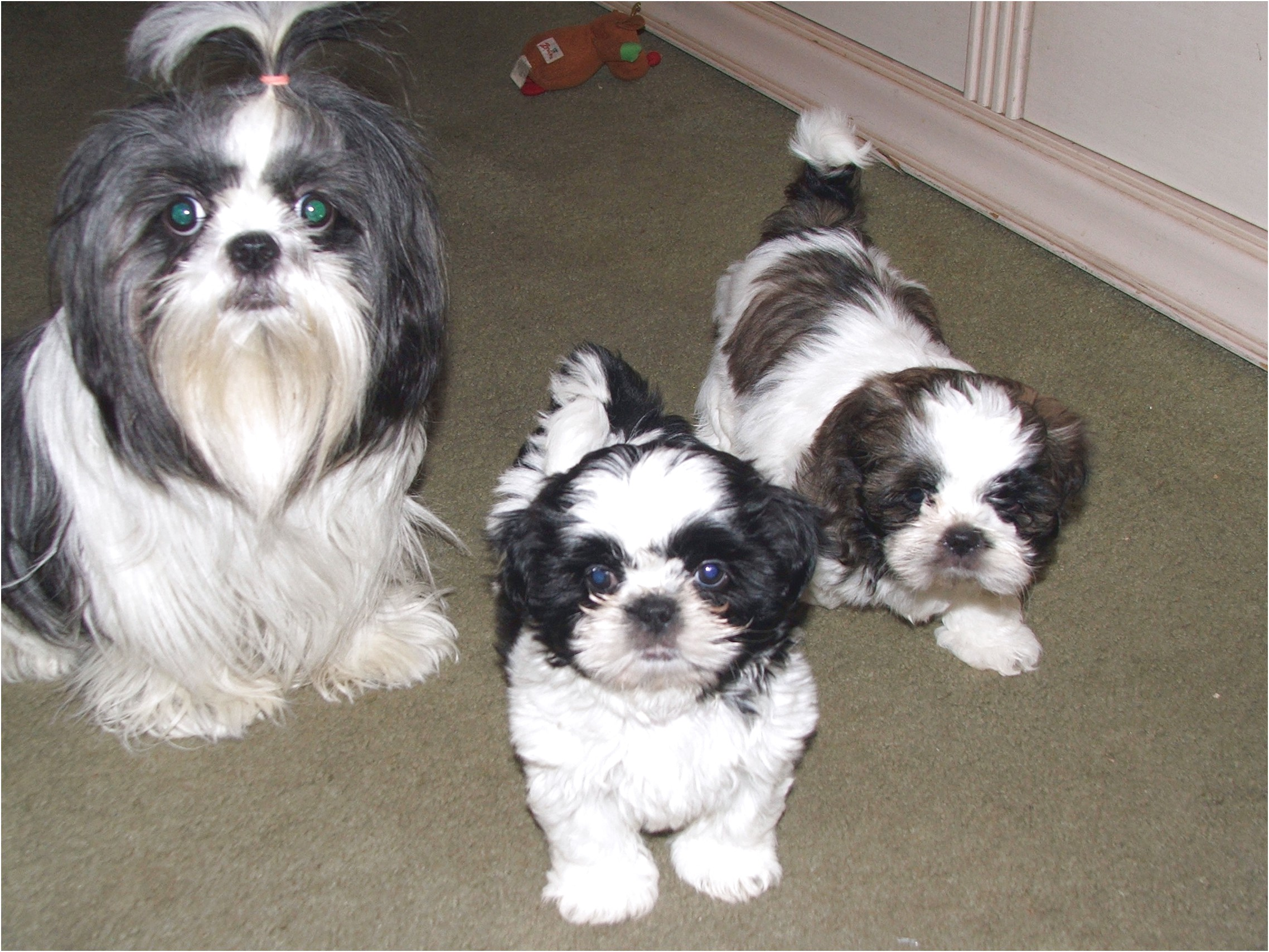 shih tzu puppies for sale in