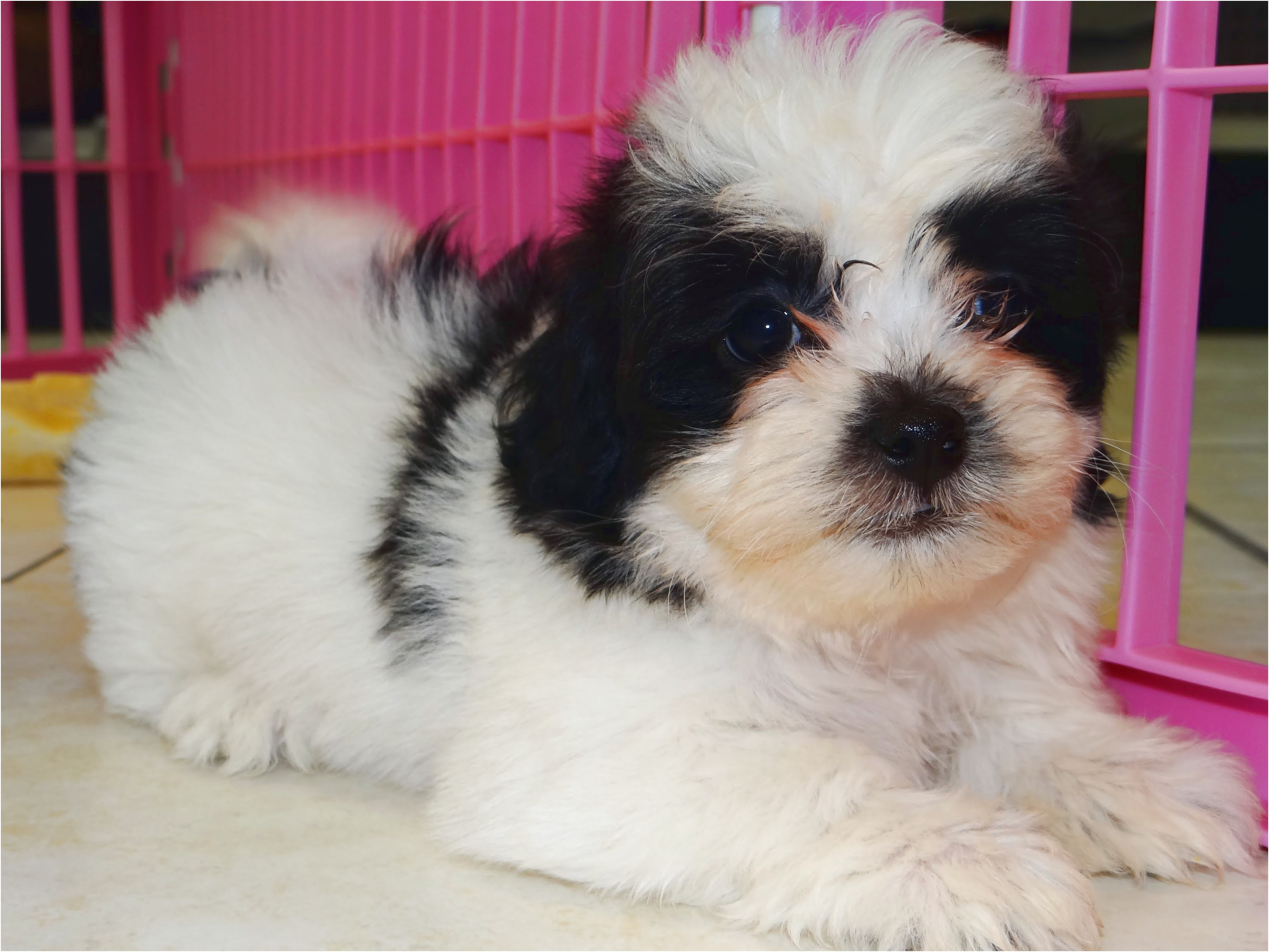 shih tzu puppies for sale jackson ms