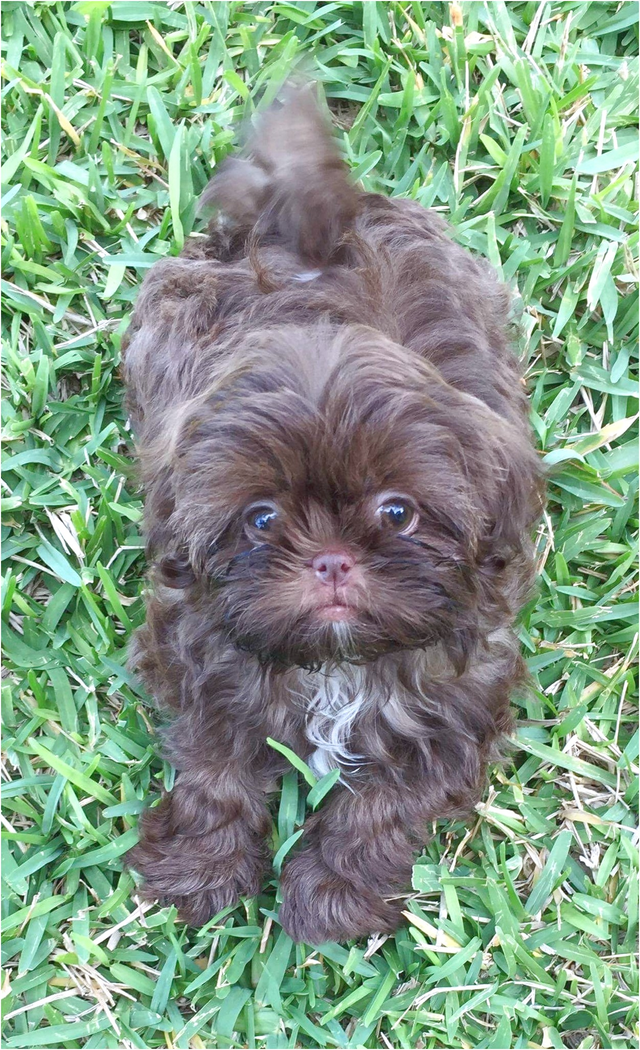 shih tzu puppies for sale katy tx