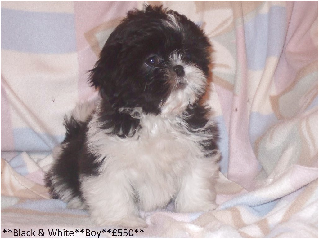 shih tzu puppies for sale kc registered