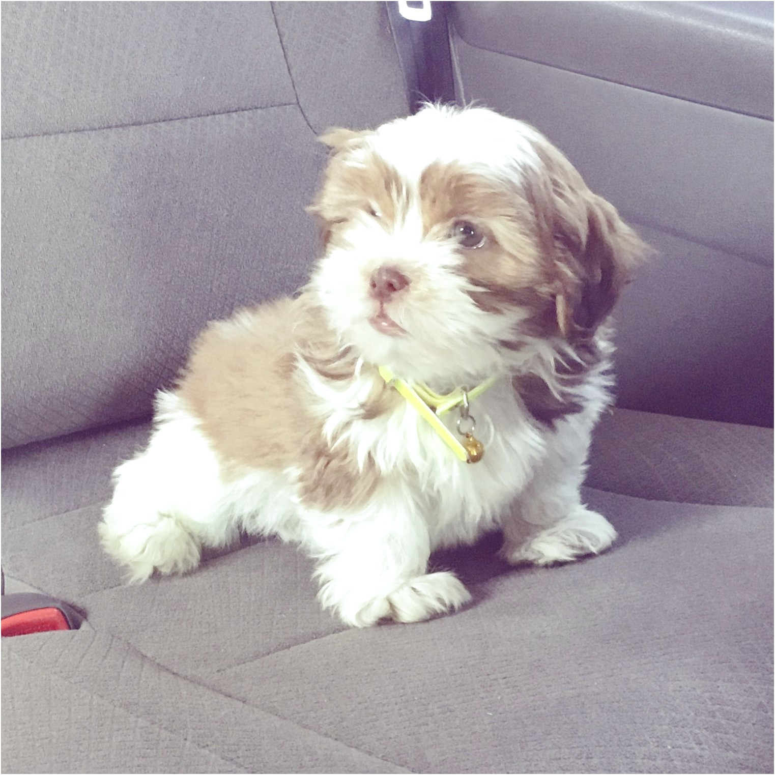 shih tzu puppies for sale kelowna