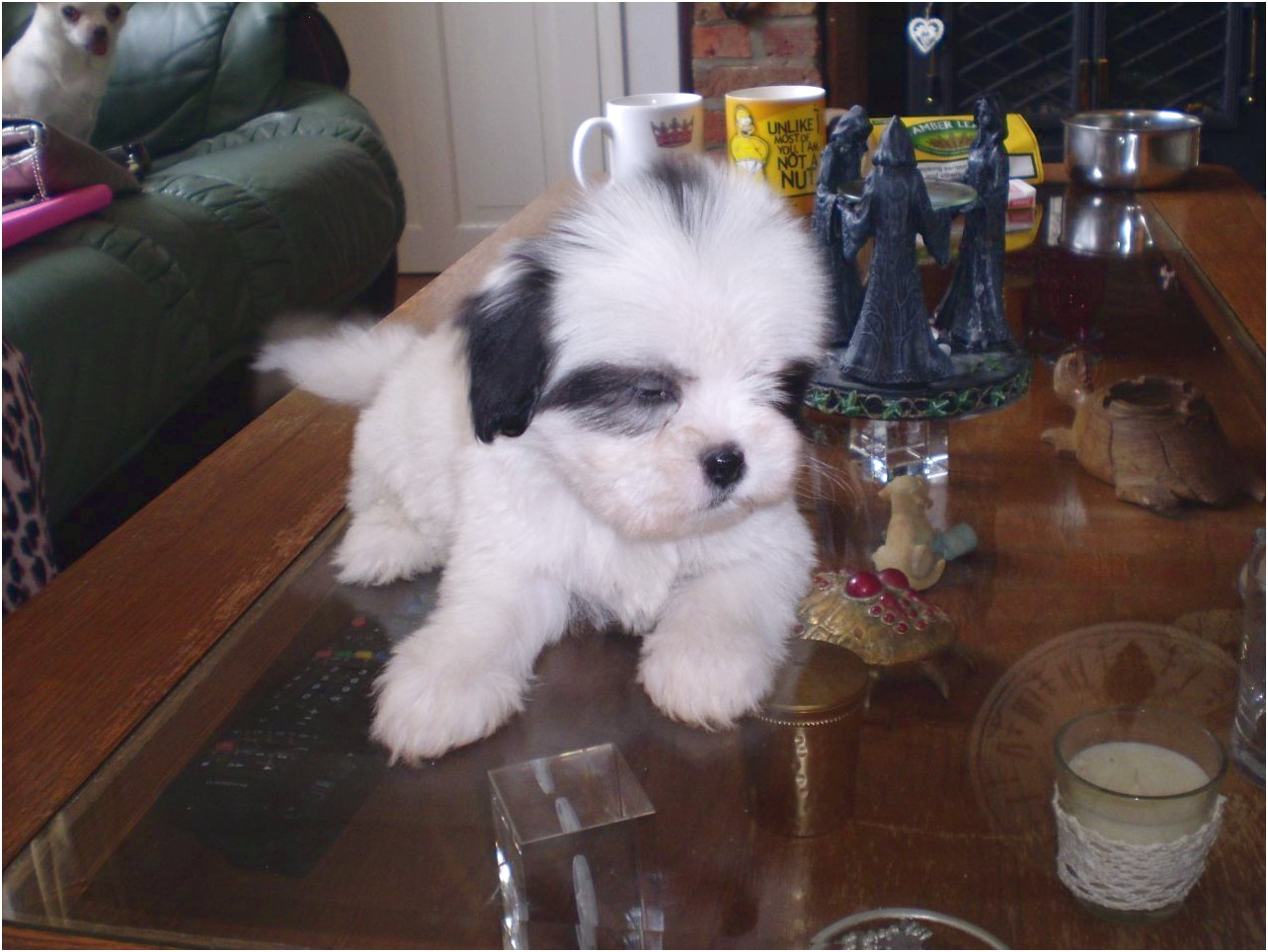 shih tzu puppies for sale lincolnshire