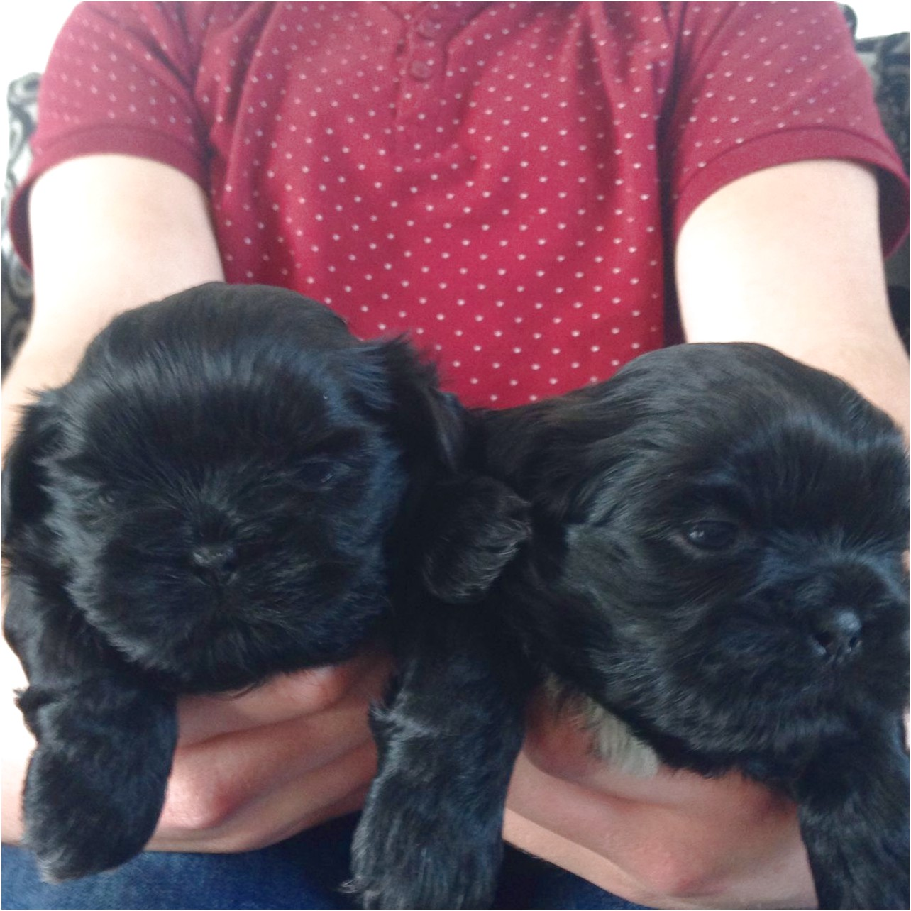 shih tzu puppies for sale liverpool