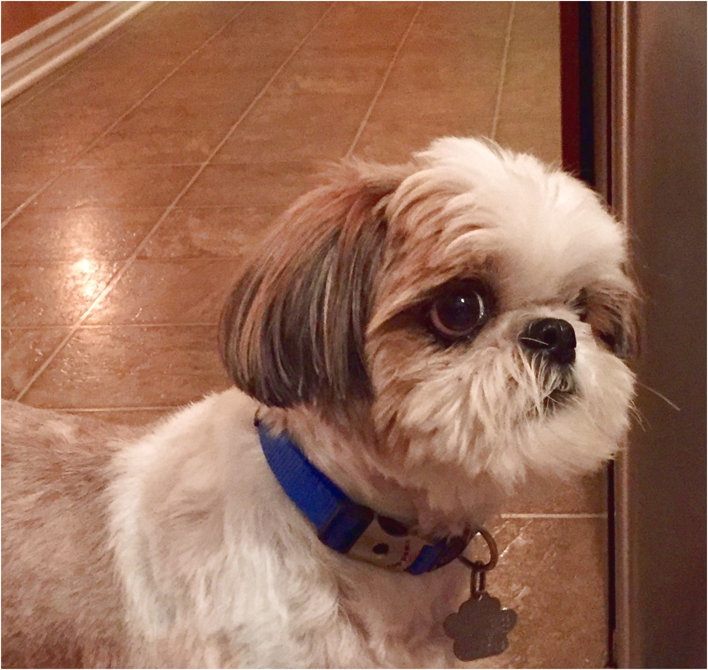 shih tzu puppies for sale london ontario