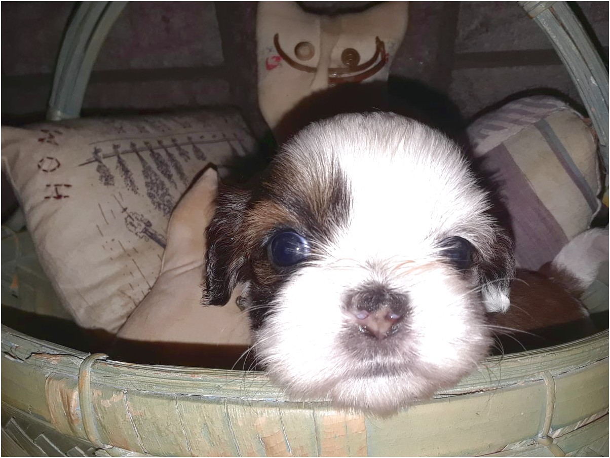 shih tzu puppies for sale louisville ky