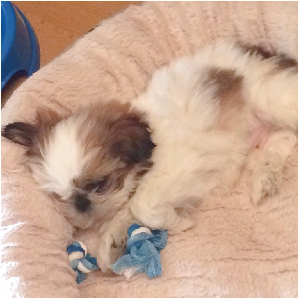 shih tzu puppies for sale n ireland