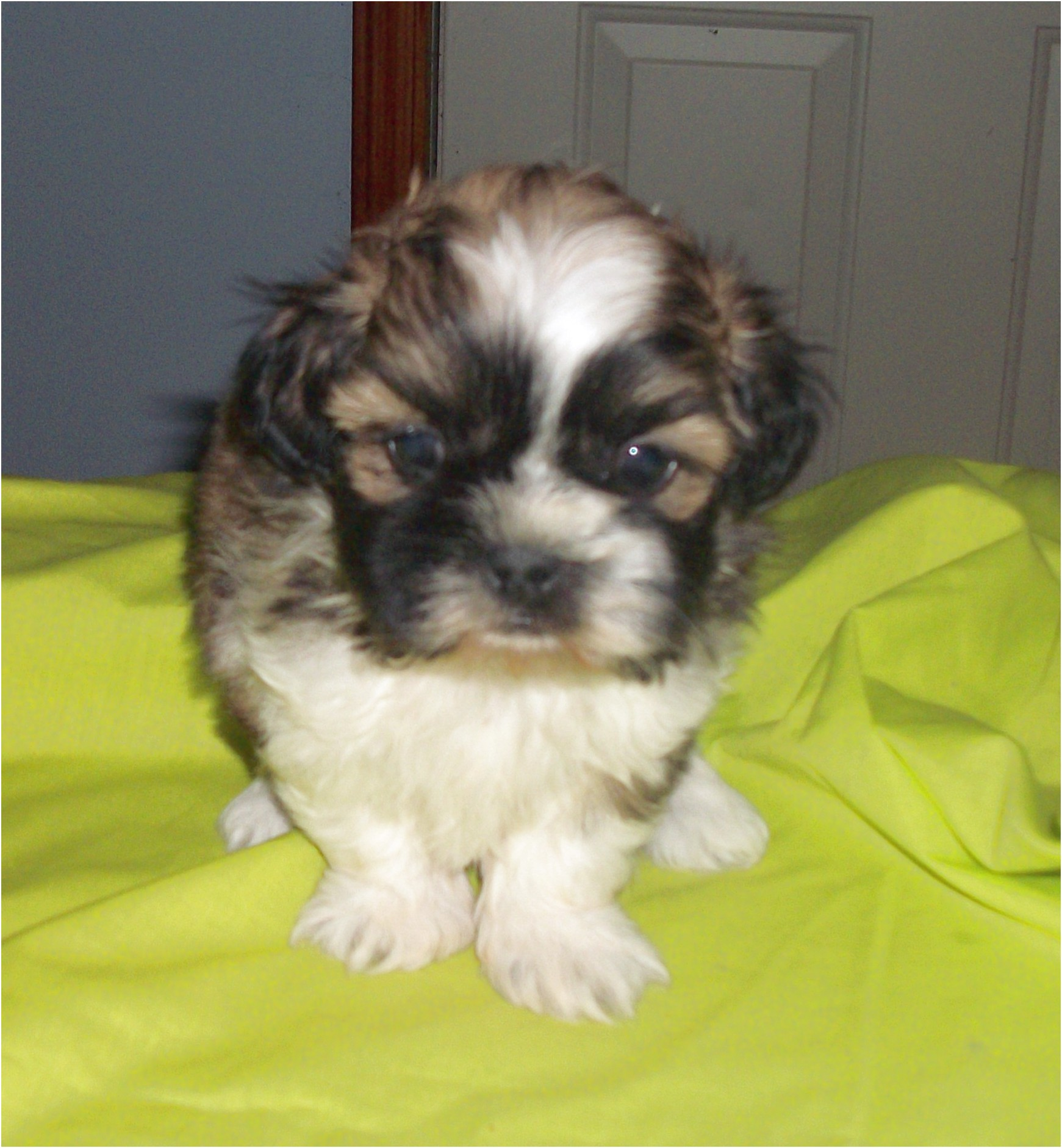 shih tzu puppies for sale nc