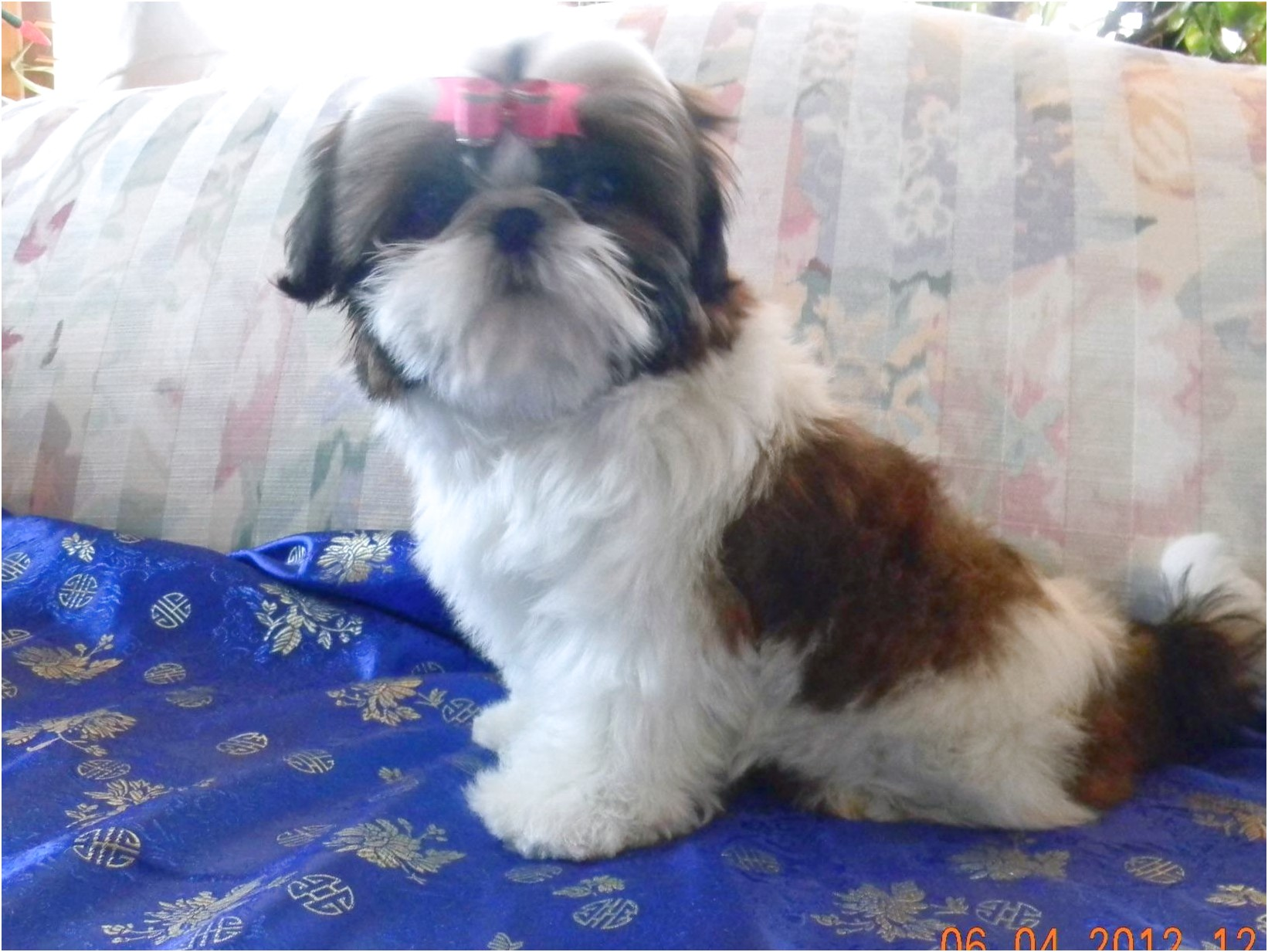 shih tzu puppies for sale near me