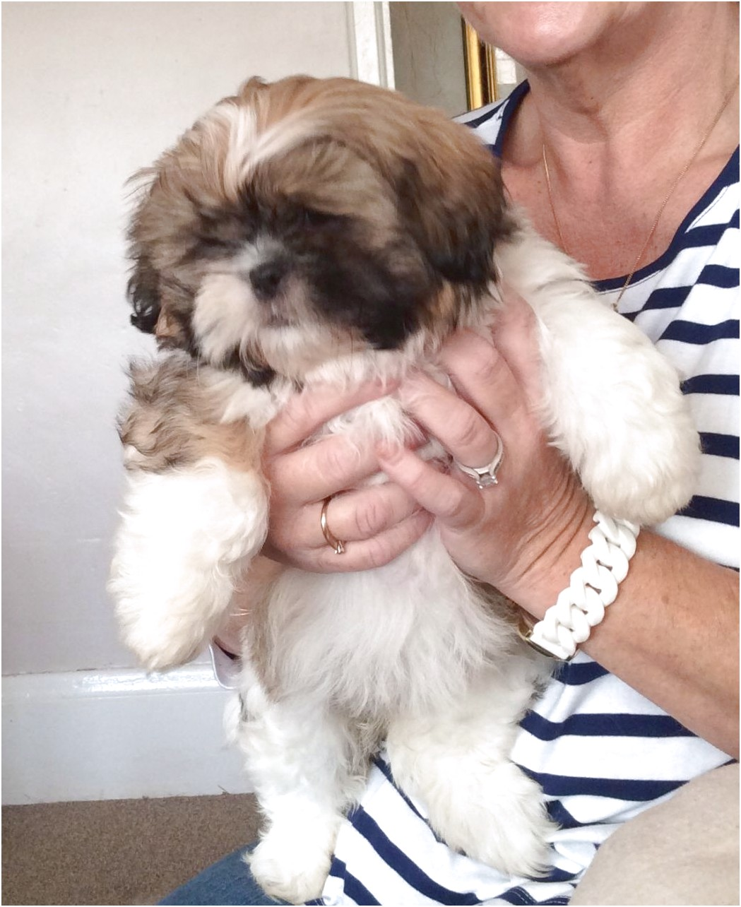 shih tzu puppies for sale new hampshire